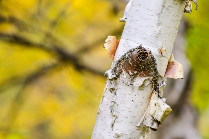 Birch tree branch in forest natural materials used for furniture